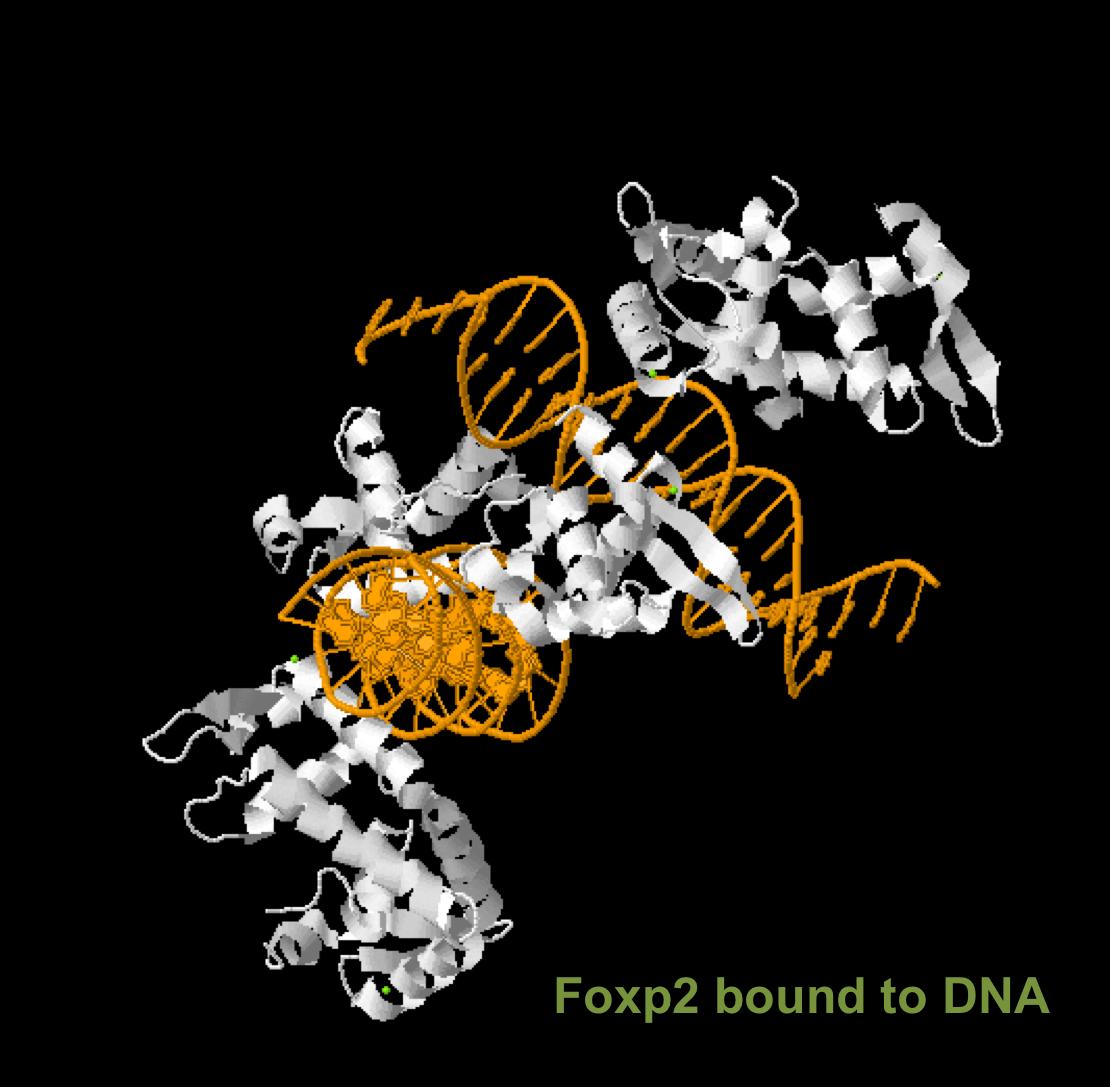 "Proteina Forkhead-Box P2 (FOXP2), supranumita ""gena vorbirii"""